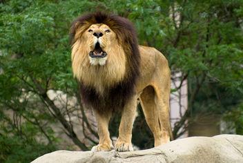 Lion - Free image #306121