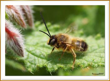 Abeja - abella - bee - apis - Free image #306151