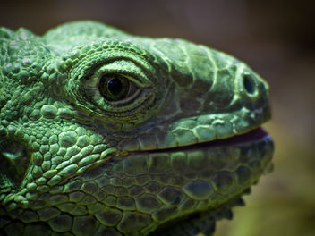 Close-up of Green Iguana - image gratuit #306171