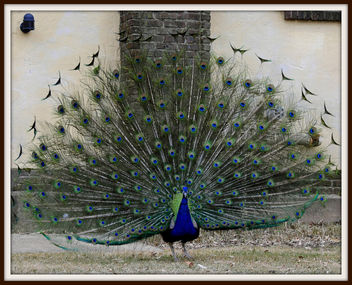 Peacock Plumage (3 of 4) - Free image #306181