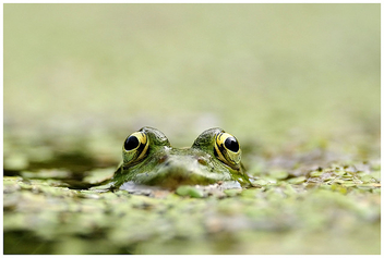 Grenouille verte / Green Frog - Free image #306241
