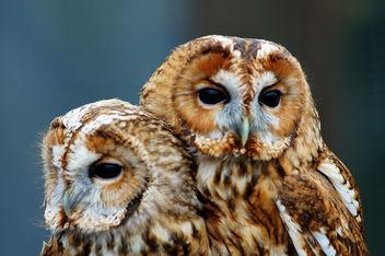 Tawny Owls - Free image #306351