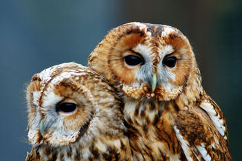 Tawny Owls - image #306351 gratis