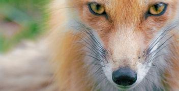 Foxy Eyes - image gratuit #306391