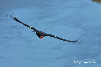 California Condors Over Marble Canyon - Free image #306481