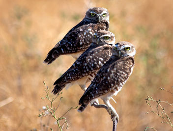 trio of owls - Free image #306501