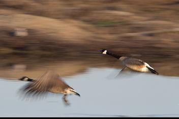 Goose Attack - Free image #306551