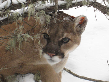 Mountain Lion - Free image #306571