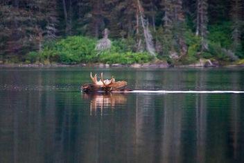Moose - image #306651 gratis
