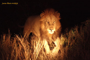 Male Lion In Kruger National Park - image gratuit #306761
