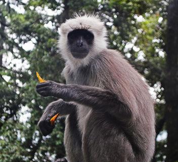 The Indian Grey Langur - image #306881 gratis