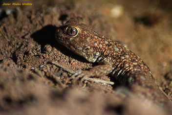 Barking gecko (Ptenopus garrulus) in Goegap Nature Reserve (Namakwaland, South Africa) - бесплатный image #306901