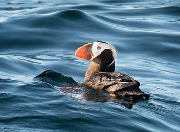 First Ever Puffin Sighting - бесплатный image #306911