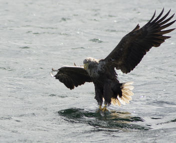 Sea Eagle taking a Fish - image gratuit #306921