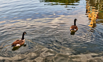 Lake Thoreau Ducks - image #306951 gratis
