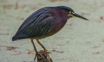 Green Heron. Busch Wildlife Sanctuary-Jupiter, Florida - Free image #307001