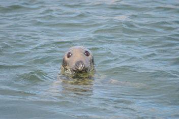 Seal in Dunbar Harbour - image #307031 gratis