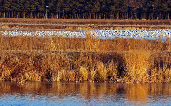 Snow geese - Kostenloses image #307101