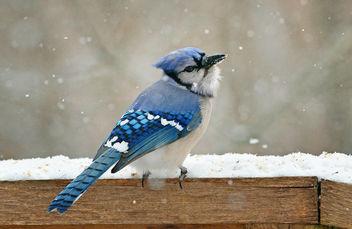 Blue Jay - Free image #307131
