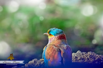 The Indian Roller - image gratuit #307171