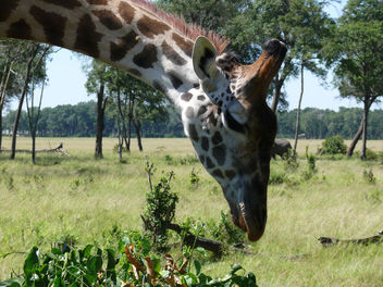 Giraffe -heads down ! - Free image #307181