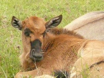 Baby Wildebeste ! - Free image #307261