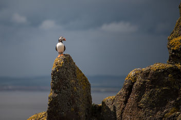 King of the Puffins - Free image #307291
