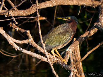 Green Heron - Free image #307451