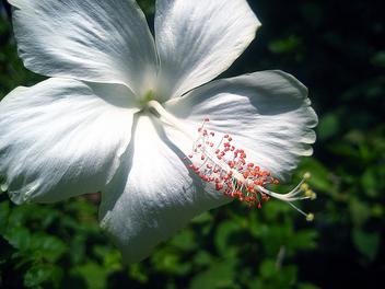 white hibiscus - image gratuit #308151