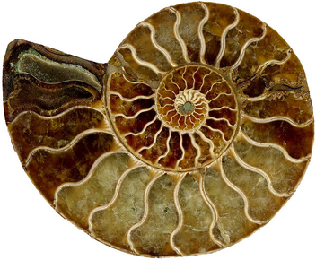 Spiral fossil - Free image #313291