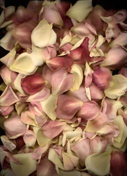 Rose Petals - Free image #313511