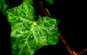 Ivy Leaf in the Rain #leshaines123 #dailyshoot - Free image #323921