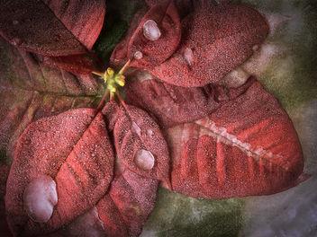 Euphorbia pulcherrima (Explore December 26, 2013) - Free image #323941