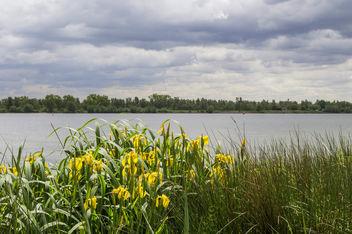 Iris pseudacorus (Gele lis) - бесплатный image #324721