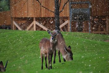 deer grazing on the grass - image #328091 gratis