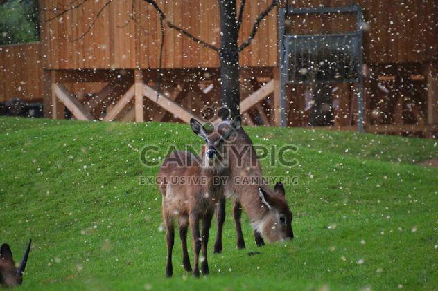 veados pastando na grama - Free image #328091