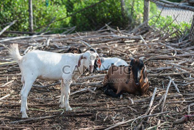 коз на ферме - бесплатный image #328121