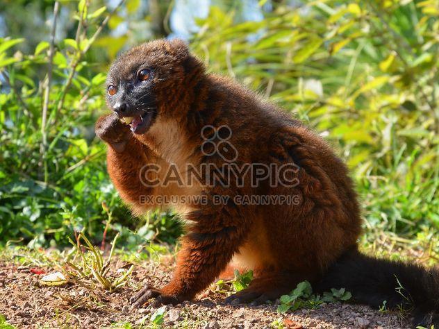 Lemur close up - image gratuit #328461