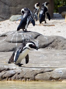Group of penguins - Free image #328471