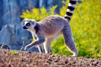 Lemur close up - image gratuit #328491