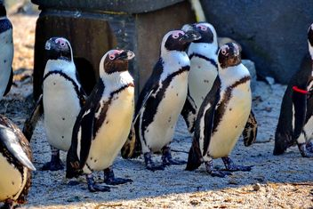 Group of penguins - image gratuit #328501