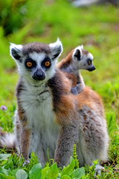 lemur with a baby on her back - Free image #328521