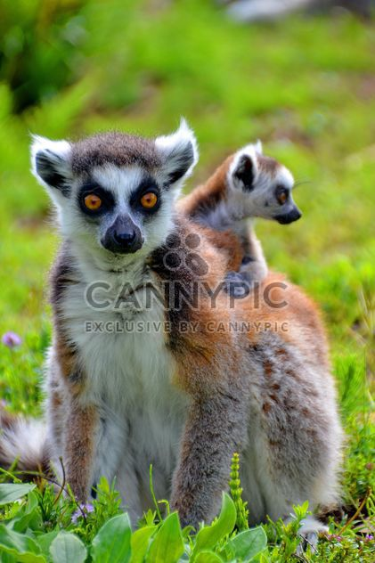 lemur with a baby on her back - бесплатный image #328521