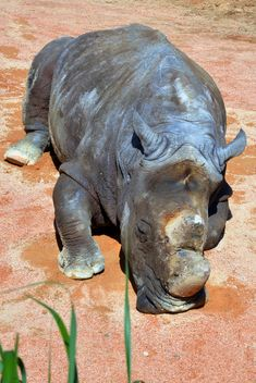 Rhino resting lying on the ground - image #328541 gratis