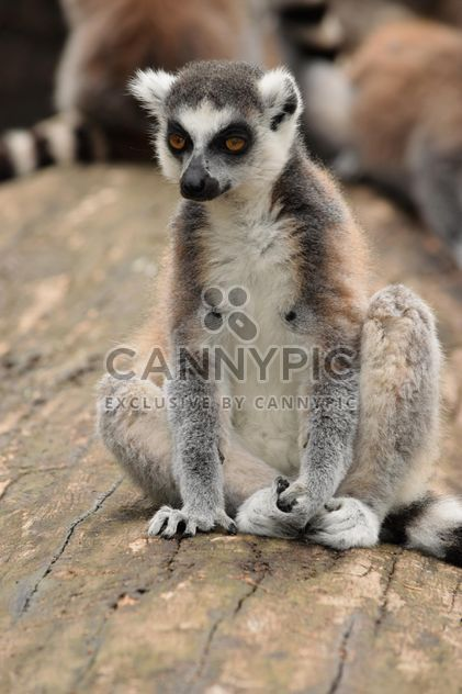 Lemur close up - image #328581 gratis