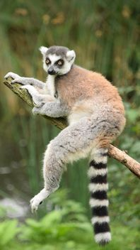 Lemur close up - Free image #328591