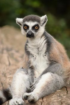 Lemur close up - image gratuit #328601