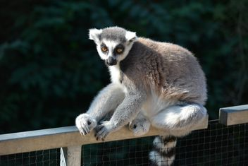 Lemur close up - Free image #328621