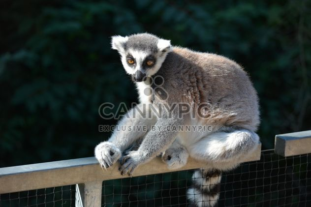 Lemur close up - image #328621 gratis