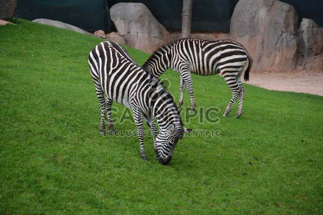 zebras on park lawn - Free image #329021